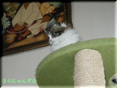 ルイ、猫部屋のタワーの上