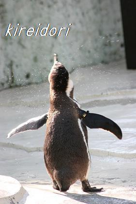 羽ばたくペンギン