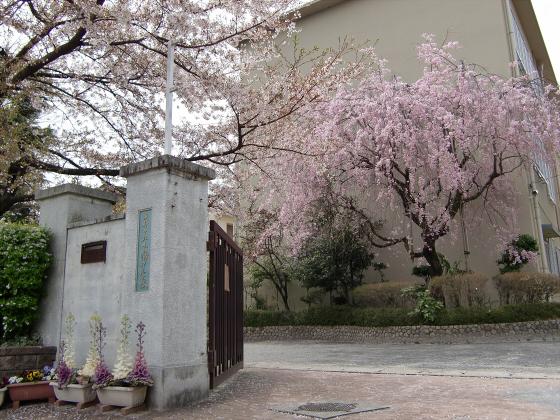 京都の桜2012-下鴨神社01