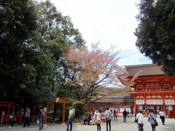 京都の桜2012-下鴨神社05