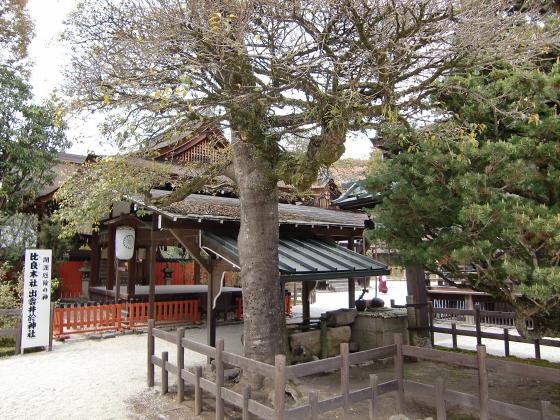 京都の桜2012-下鴨神社15