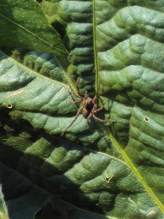大豆の葉と蜘蛛