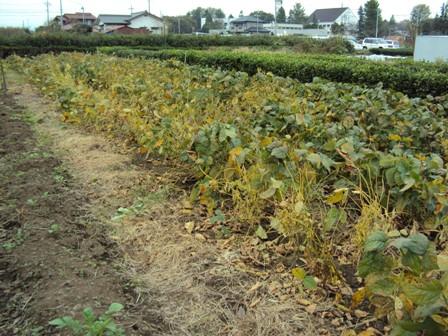 枯れてきた大豆の葉