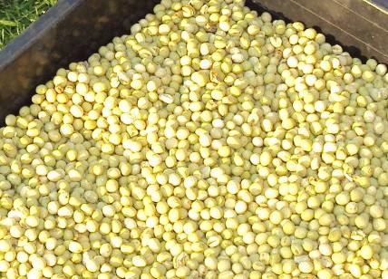 脱穀し大きな殻を取り除いた大豆
