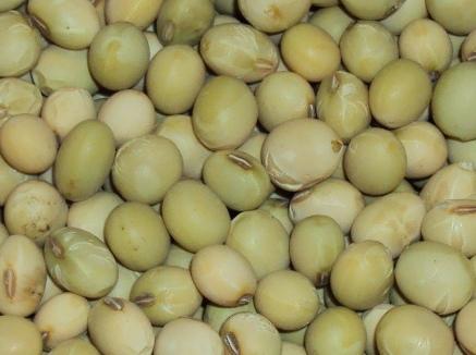 拡大した大豆