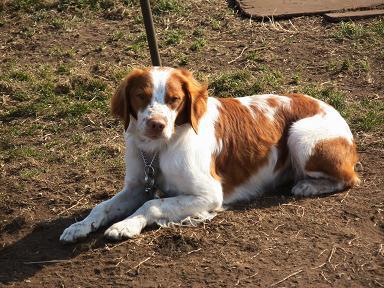 犬種…ブリタニー・スパニエル