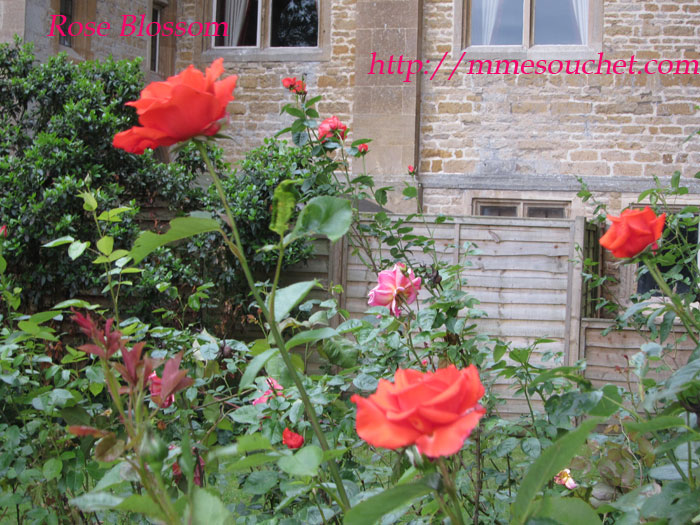 rose201106052.jpg