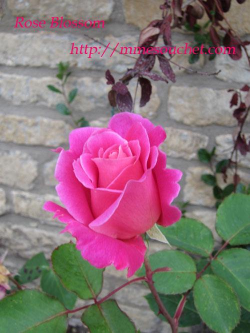 rose201106054.jpg