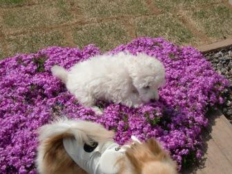 芝桜×アックス