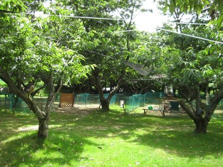 ①マロンの樹