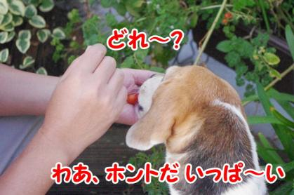 トマト 4