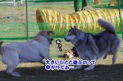 大型犬 12