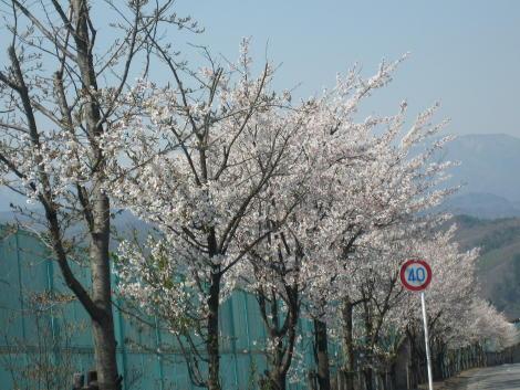 ちょっとした桜並木♪