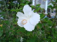 石垣の花3