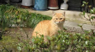 天橋立の猫