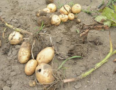 2011.6.28 ジャガイモの収穫