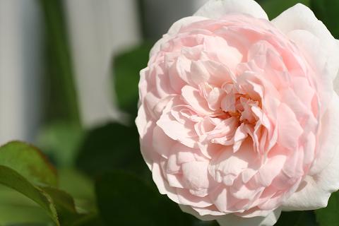 2007秋バラ (5)0001