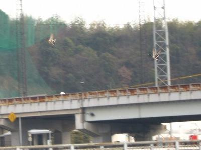 20110224_カモ飛ぶ!