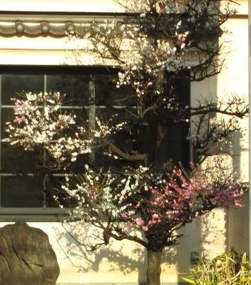 20110309_紅白の梅