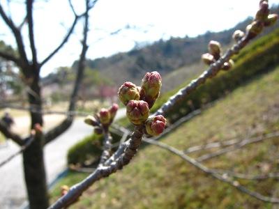 20110331_桜の蕾0328