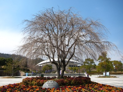 20110331_記念樹0328