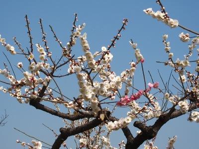 20110331_白×桃色の梅1