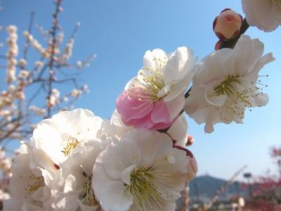 20110331_白×桃色の梅2