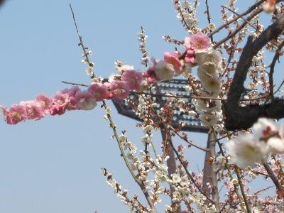 20110331_白×桃色の梅3