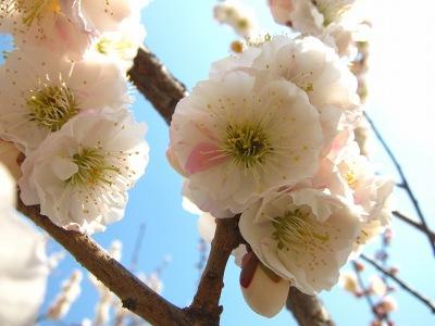 20110331_白×桃色の梅4