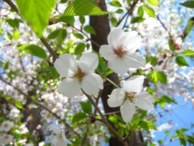 20110413_桜咲く