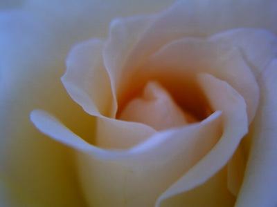 20110625_白いバラ-vm
