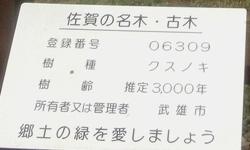230806 川古の大楠3-1