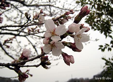 桜の開花①