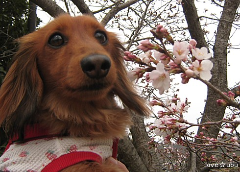 桜の開花②