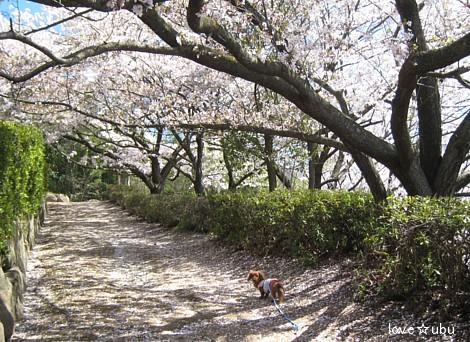 散り始めの桜②