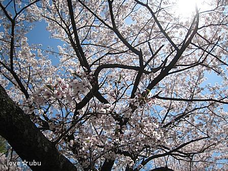 散り始めの桜①