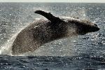 跳ねるクジラ