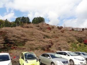 川見四季桜の里の駐車場の上の辺の四季桜