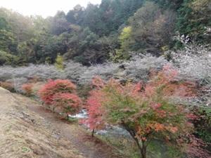 川見四季桜の里1
