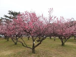 岡崎南公園の梅林2