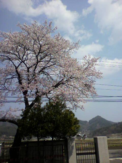 上田の桜2
