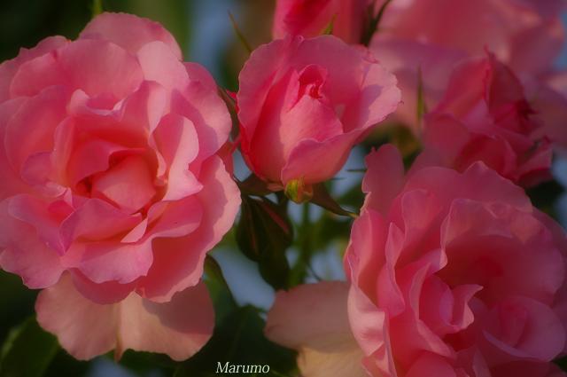 ピンク薔薇