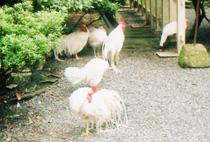 伊勢神宮2011鶏