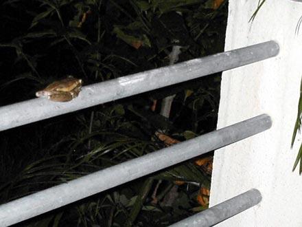 沖縄-カエル