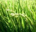 立派に生育中の「稲」