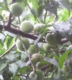 果汁エキスを豊富に含有している、「鴬宿梅」