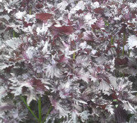 紫蘇の葉は、とてもきれいな光沢です