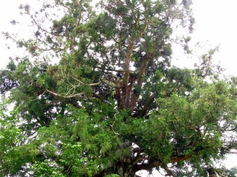 阿弥陀杉1
