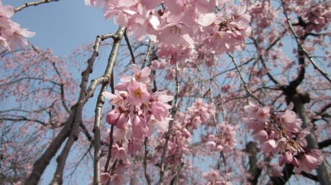 枝垂れ桜アップ