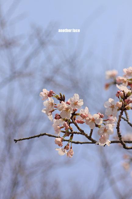 0402-Sakura2.jpg